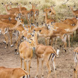 Impala Ram Herding His Harem away in Tanzania Wilderness — Stock Photo