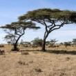 Great Migration, Serengeti National Park — Stock Photo