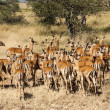 Impala Ram Herding His Harem away in Tanzania Wilderness — Stock Photo #31399871