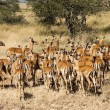 ImpalRam Herding His Harem away in TanzaniWilderness — Stock Photo #31399981