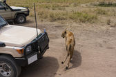 En un safari con un curioso león — Foto de Stock