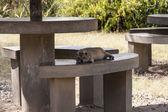 African Rock Hyrax — Stock Photo