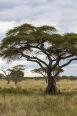 Lonely Tree In The African Wilderness — Stock Photo