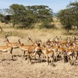 Impala Ram Herding His Harem away in Tanzania Wilderness — Stock Photo #31400119