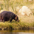 Hippo grazing — Stock Photo