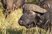 Profile Of A Buffalo — Stock Photo
