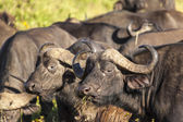 Cape Buffaloes In Africa — Stock Photo