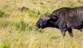 Grazing Buffaloes — Stock Photo