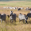 Постер, плакат: Zebra herd during migration in Serengeti national park Tanzania