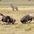 African wildebeests fighting — Stock Photo