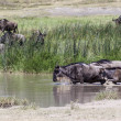 Wildebeest  at the watering — Stok fotoğraf