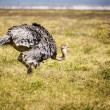 Ostrich In Africa — Stock Photo