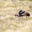 Crowned crane in the grasslands — Stock Photo