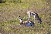 Impala nel deserto — Foto Stock