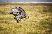 Ostrich In Africa — Stock Photo