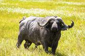 Cape Buffalo In Africa — Stock Photo
