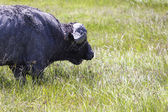 Cape Buffalo In Africa — Stock Photo