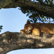 Lion on a branch — Stock Photo