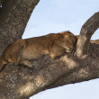 Lion on a branch — Stock Photo #31426457