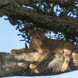Lion on a branch — Stock Photo #31426563
