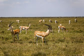 Grazing Impalas In The Wilderness — Stock Photo
