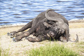 Cape Buffalo Resting By The Water — Stock Photo
