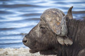 Cape Buffalo By The Water In Tanzania — Stock Photo