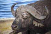 Cape Buffalo In Tanzania — Stock Photo