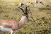 Beautiful Impala In The Wilderness — Stock Photo