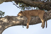 Lion on a branch — Foto Stock