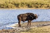 Cape Buffalo By The Water — Stock Photo