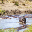 Hippopotamus — Stock Photo #31430353