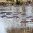 Photo: Hippopotamus