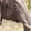 Elephants head close up — Stock Photo