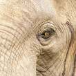 Stock Photo: Elephants head close up