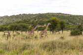 Gracious Giraffe Walking Away In Tanzania — Stock Photo
