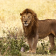 Male Lion In The Wilderness — Stock Photo