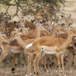 Group Of Impalas Close Up — Stockfoto