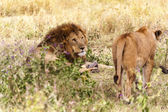 Jouant des lions dans le parc national de serengeti — Photo