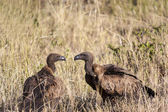 Vultures looking at each other — Stock Photo