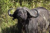 African bull cape buffalo - Tanzania's national park — Stock Photo