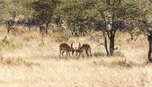 Fighting Impalas — Stock Photo
