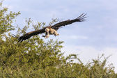 Flying african vulture — Stock Photo