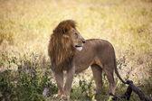 Mannetjes leeuw in de wildernis — Stockfoto