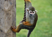 Spider monkey — Stock fotografie