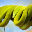 Green Mamba Coiled Up on a Branch — Stock Photo #14330699
