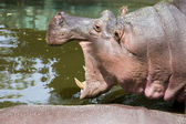 Hippopotamus with Open Mouth — Photo