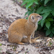 Yellow Mongoose — Stockfoto #31389583
