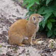 Foto Stock: Yellow Mongoose