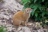 Yellow Mongoose — Stock fotografie